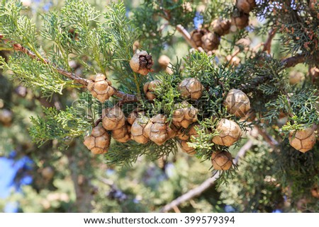 Many cypress cones on his tree on blurred background - stock photo
