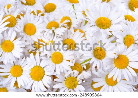 Many daisies. Background of chamomile flowers. - stock photo