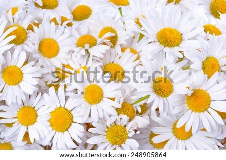 Many daisies. Background of chamomile flowers. - stock photo