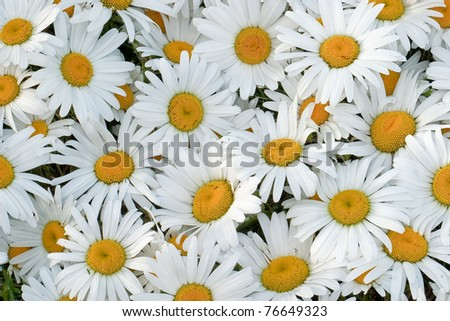 Many daisies closeup, side lighting to show the delicate texture of flowers - stock photo