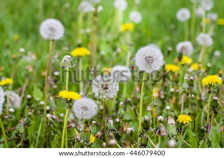 many dandelions on a meadow in spring