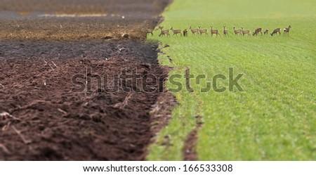 Many deers grazing the fresh wheat - stock photo