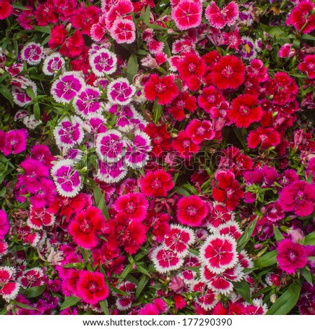 many Dianthus.