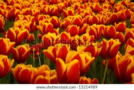 Many differently colored tulips. Picture taken in the Netherlands (park Keukenhof).