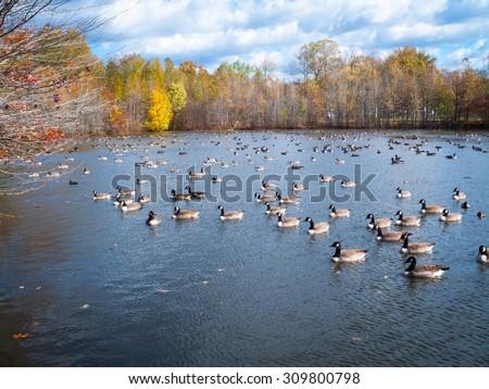 Many ducks on Holiday Lake in Manalapan New Jersey. - stock photo