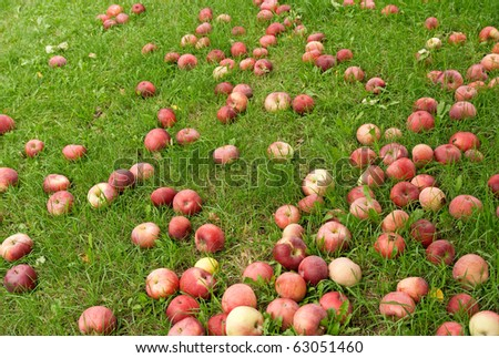Many fallen red apples in green grass. Autumn background. - stock photo