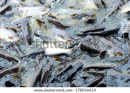 Many fishes are fight over for food ,feeding fish river front of the temple Thailand - stock photo