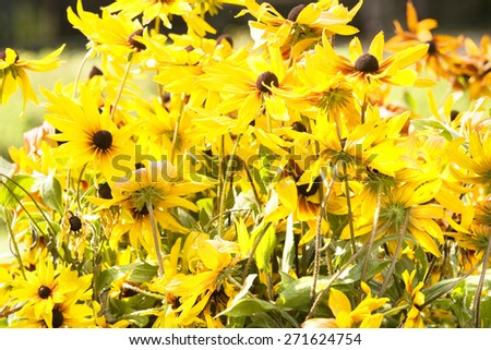 Many flowers of yellow color on flowerbed. - stock photo