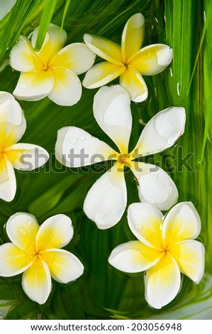 Many frangipani and wet palm leaf texture - stock photo