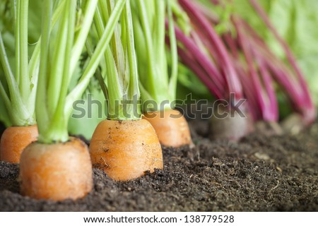 Many fresh organic vegetables growing in the garden closeup - stock photo