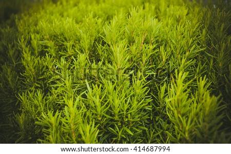 many fresh sprigs of rosemary closeup filter - stock photo