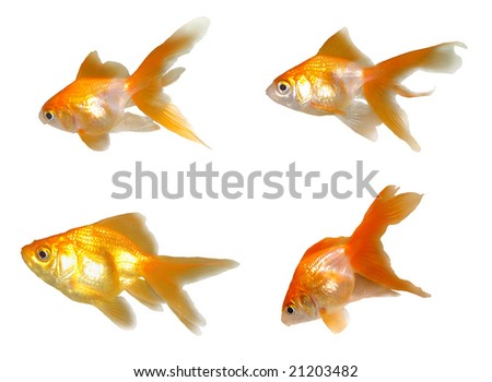 Many friendly beautiful goldfishes isolated on white background (can be used individually)