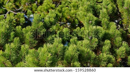 many green pine boughs