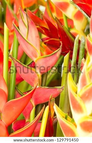 Many Heliconias flowers. - stock photo