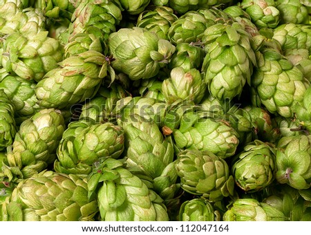 Many hops cones as background - stock photo