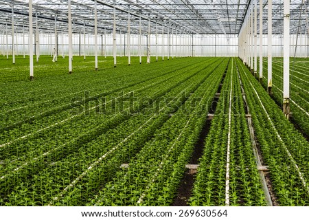 Many just planted small chrysanthemum cuttings growing in the glasshouse of a specialized horticulture business in the Netherlands. - stock photo