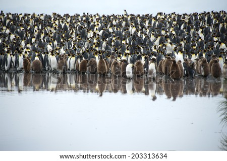Many king babies and adult penguins being mirrored in water, South Georgia, Antarctica - stock photo