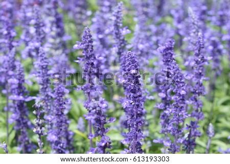 Many little purple flowers garden stock photo edit now 613193303 many little purple flowers in garden mightylinksfo