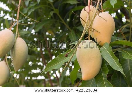 Many mango ripe on mango trees in the garden. - stock photo