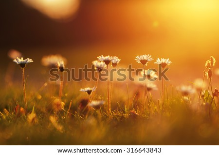 many meadow chamomile on sunny background in autumn field