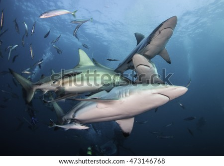 Many oceanic black tip sharks close together during a baited shark dive in blue water at the dive site Aliwal Shoal on South Africa's east coast.