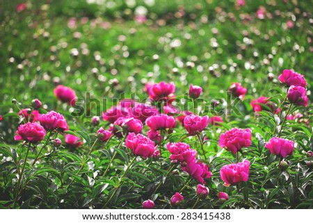 Many of beautiful blooming peonies with buds in a bright sunny day - stock photo
