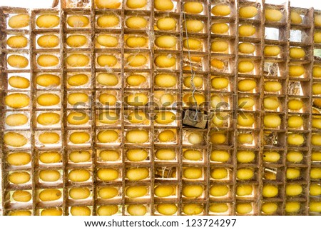 Many of yellow silk cocoon