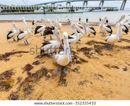 Many pelicans on the beach of San Remo, Victoria, Australia - stock photo