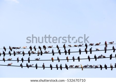 Many Pigeons are resting on power cable.