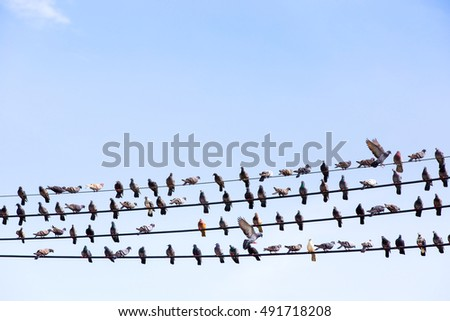 Many Pigeons resting on an electric wire, With blue sky.
