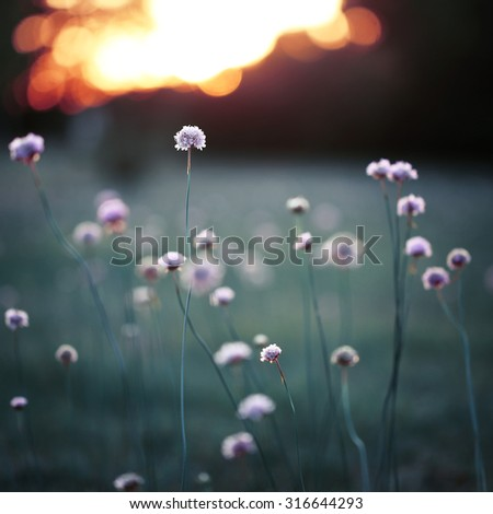 many pink meadow wild flowers on green on field background. Fresh autumn evening. Nature background
