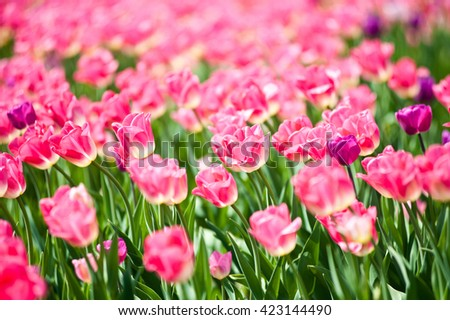 Many pink tulips