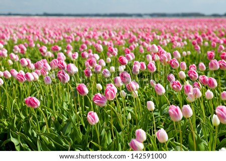 many pink tulips om spring fields in Alkmaar, North Holland - stock photo