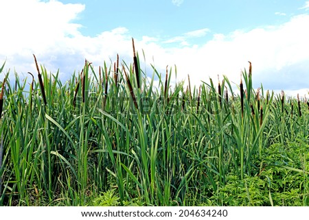 Many plants reeds on a sunny day - stock photo