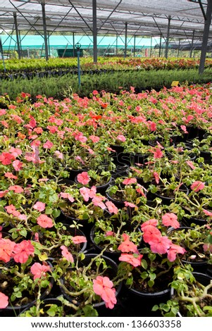 Many pots with wax begonia in greenhouse  nursery.