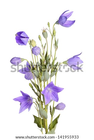 Many purple flowers, buds and leaves of balloon flower or bellflower (Platycodon grandiflorus) isolated against a white background