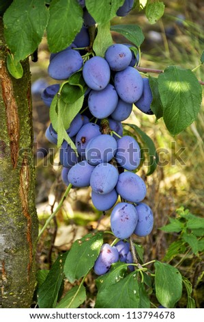 Many ripe plums hanging on a branch - stock photo