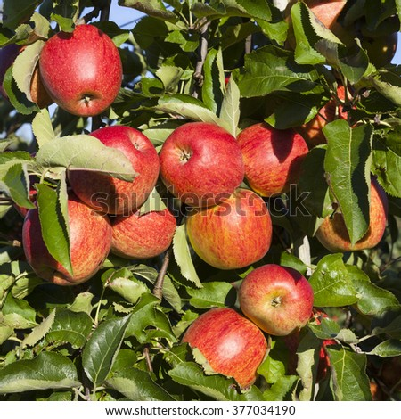 many ripe red apples on branch of apple tree in sunlight - stock photo
