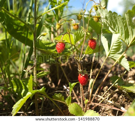 Many ripe strawberry grows in grass closeup - stock photo