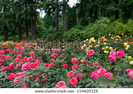 Many roses in front of a forest at the International Rose Test Garden in Washington Park in Portland, Oregon - stock photo
