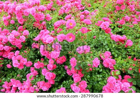 many roses on a bush in nature - stock photo