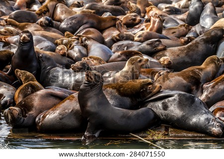 Many sea lions and seals resting on piers in river off coast of Pacific ocean - stock photo