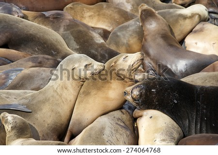 Many Sea Lions hauling out on boat docks in San Francisco. Sleeping on top of each other. - stock photo