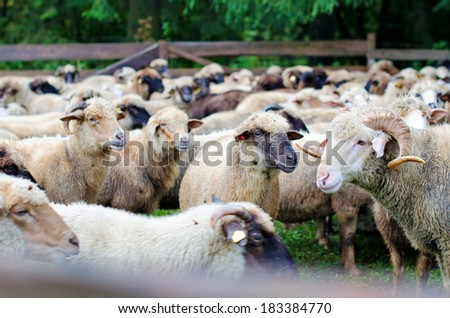 Many sheep and lamb on green field