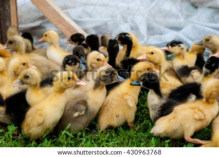 Many small ducklings randomly running around on the grass - stock photo