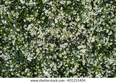 Many small white flower on green background, Daisies growing in a garden. Many small blooms with white petals & yellow centers, against a green background of vegetation. - stock photo
