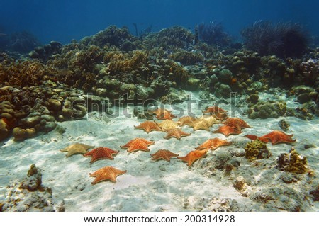 Many starfish, Oreaster reticulatus, underwater in a coral reef - stock photo