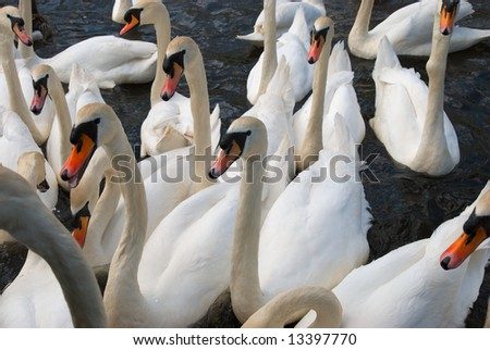 many swans on a lake waiting to be fed - stock photo