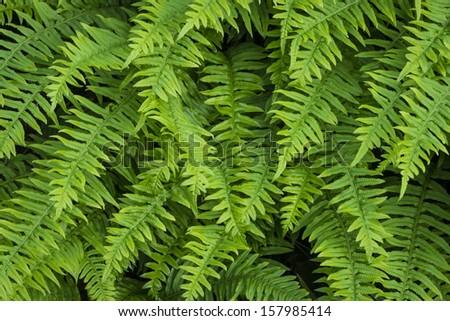 Many sword ferns, Polystichum munitum, growing together - stock photo