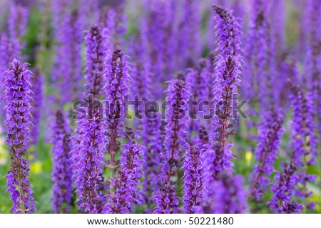 Many tall purple flowers in the garden - stock photo